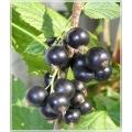 Смородина чёрная перетертая с сиропом топинамбура 4 к 1
