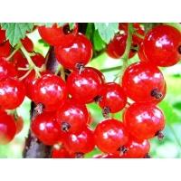Смородина красная перетертая с  сиропом топинамбура
